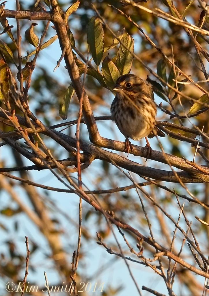 Sparrow ©Kim Smith 2014