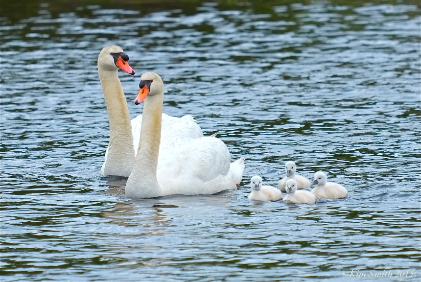 Swan and Cygnets ©Kim Smith 2014