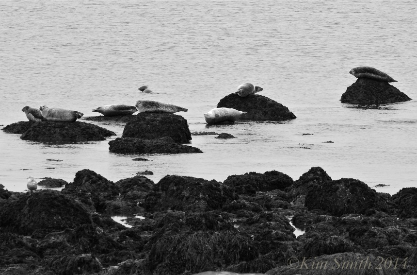 Brace Cove Seals 2 ©Kim Smith 2014