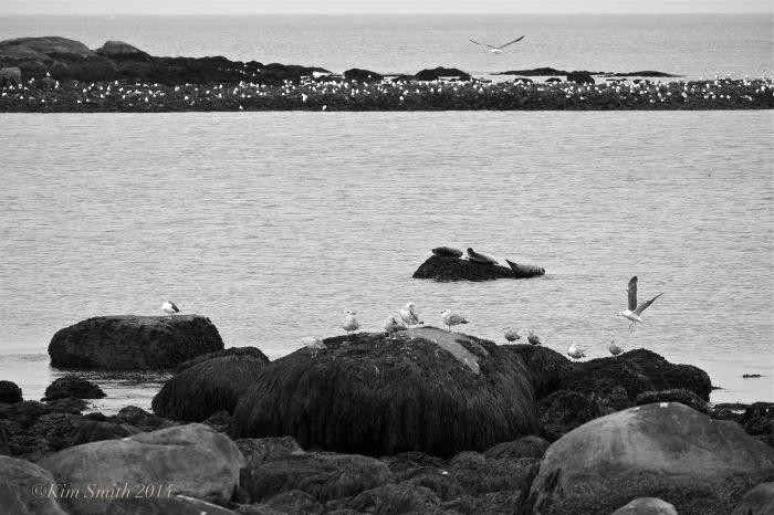Brace Cove Seals b-w ©Kim Smith 2014