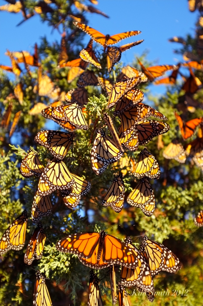 monarch-butterfles-eastern-point-gloucester-ma-c2a9-kim-smith-2012-1
