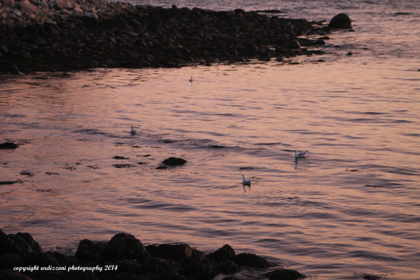 November 10, 2014 seagulls swimming at sunset