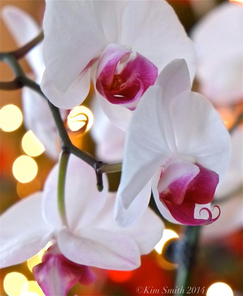 Cymbidium orchid ©Kim Smith 2014