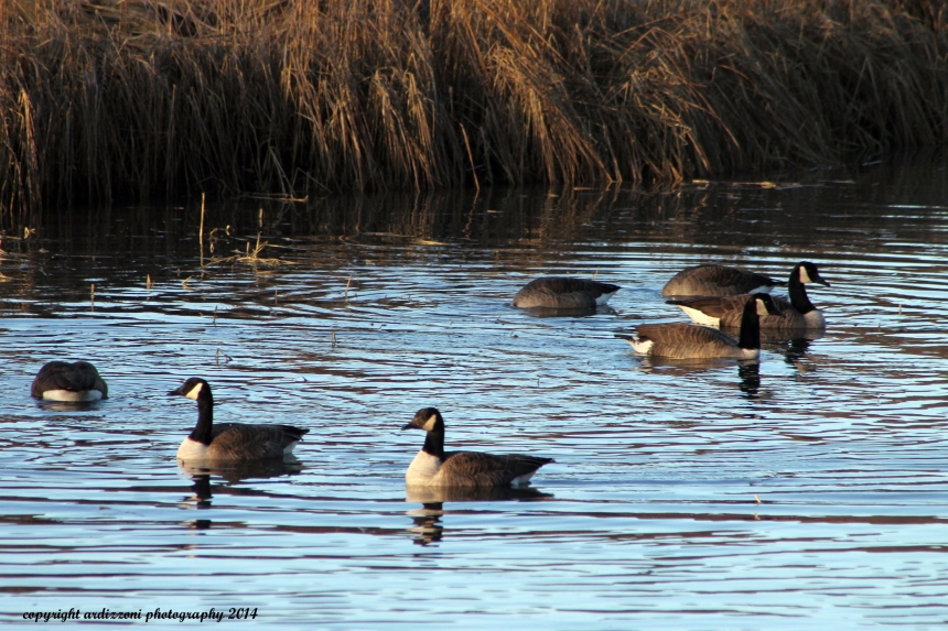 December 29, 2014 Geese enjoying Little River