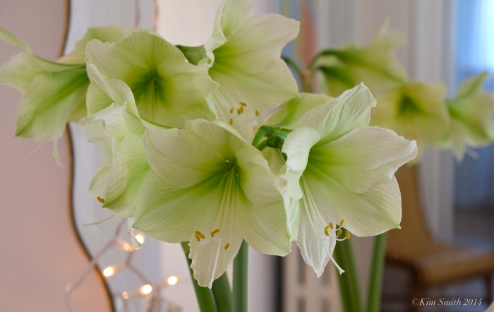 Lemon Lime Amaryllis  -- ©Kim Smith 2014