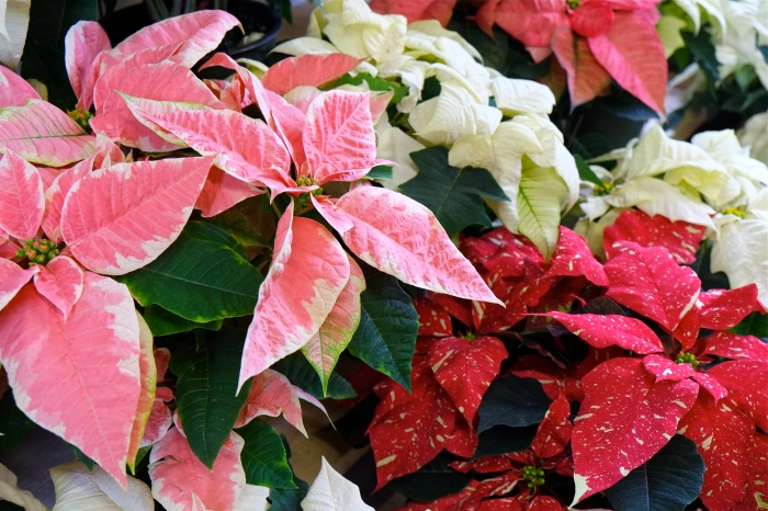 Wolf Hill poinsettias ©Kim Smith 2014