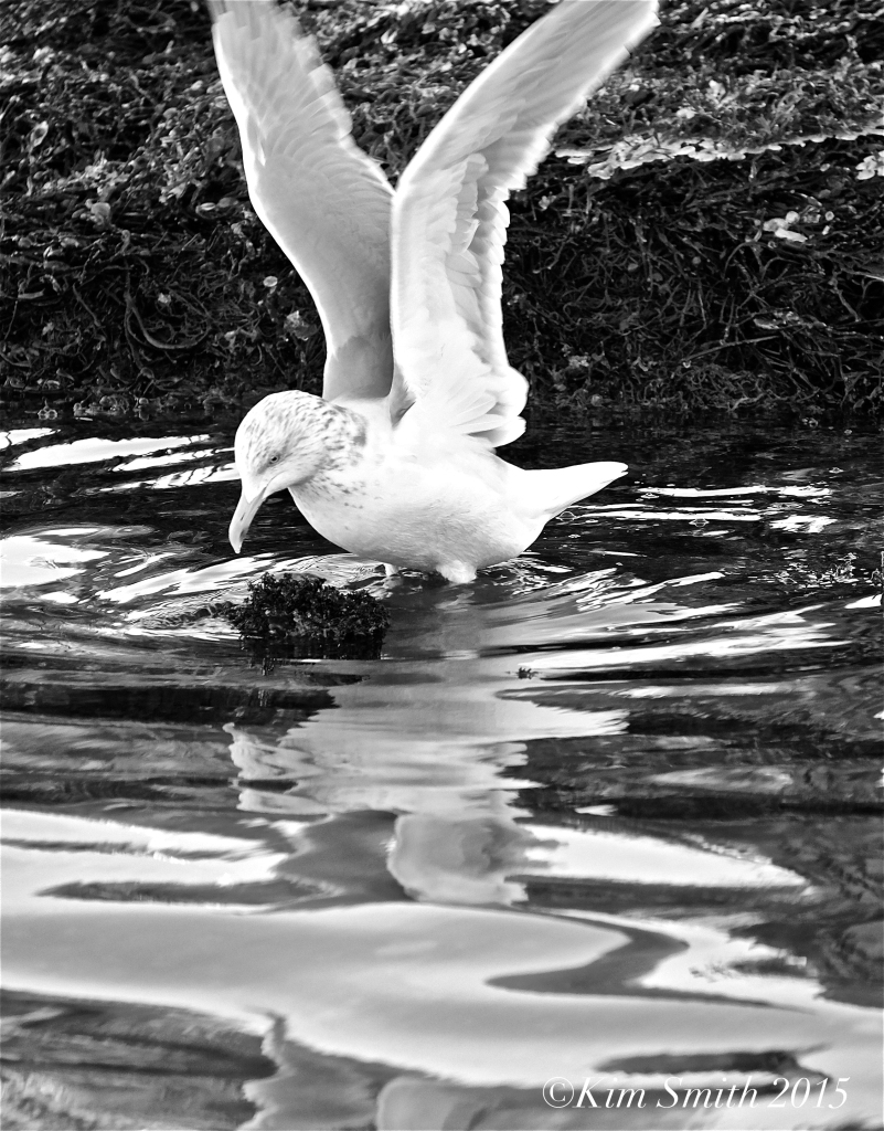 Herring Gull b-w ©Kim Smith 2015