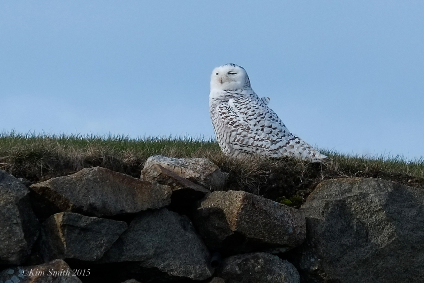 Juvenile Snowy Owl  Gloucester Massachusetts. ©Kim Smith 2015
