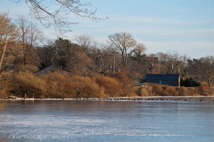 Niles Pond Ducks in a Row ©Kim Smith 2015