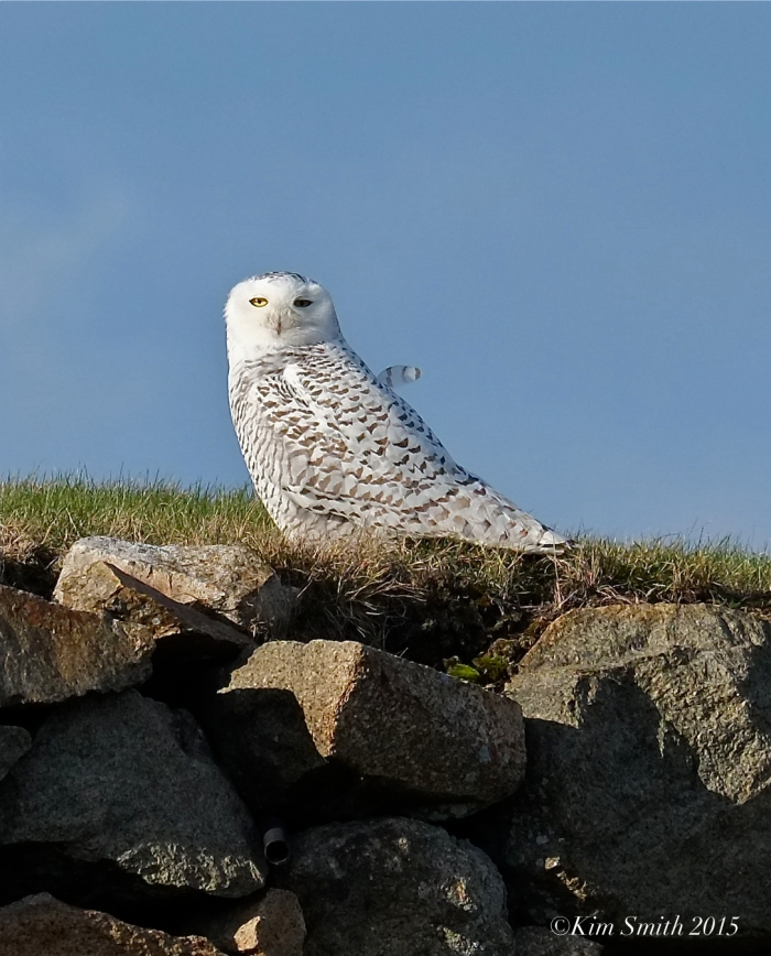 Snowy Owl East Gloucester Massachusetts. ©Kim Smith 2015