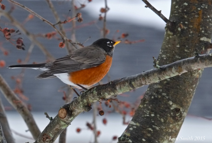 American Robin winter crabapple turdus migratorius, americanus ©kim Smith 2015