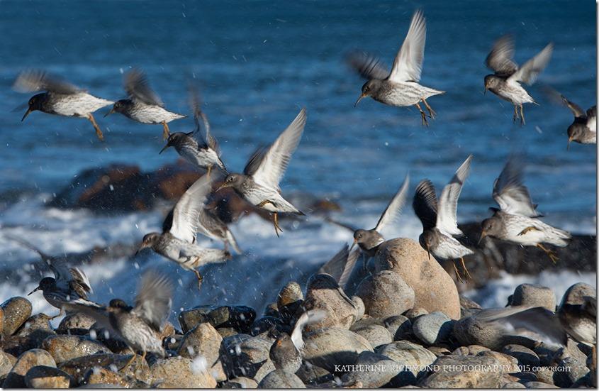 Backshore_birds_rxs_LRZ_4836 copy
