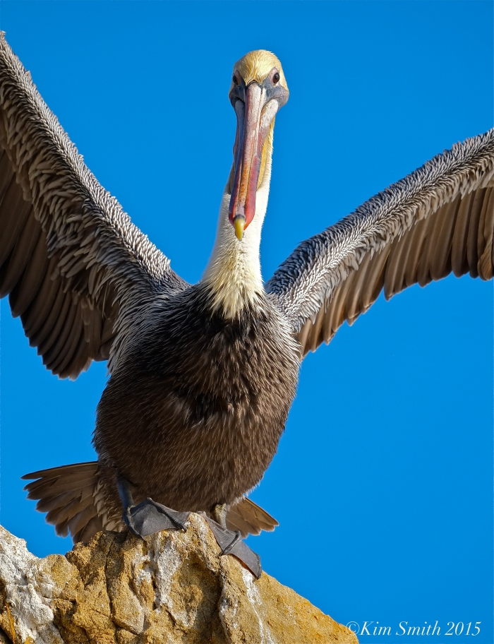 California Brown Pelican taking flight El Matador Beach ©Kim Smith 2015 copy