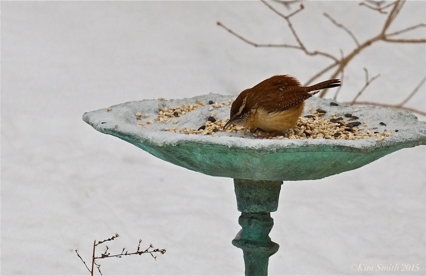 Caroloina Wren  bird bath ©Kim Smith 2015