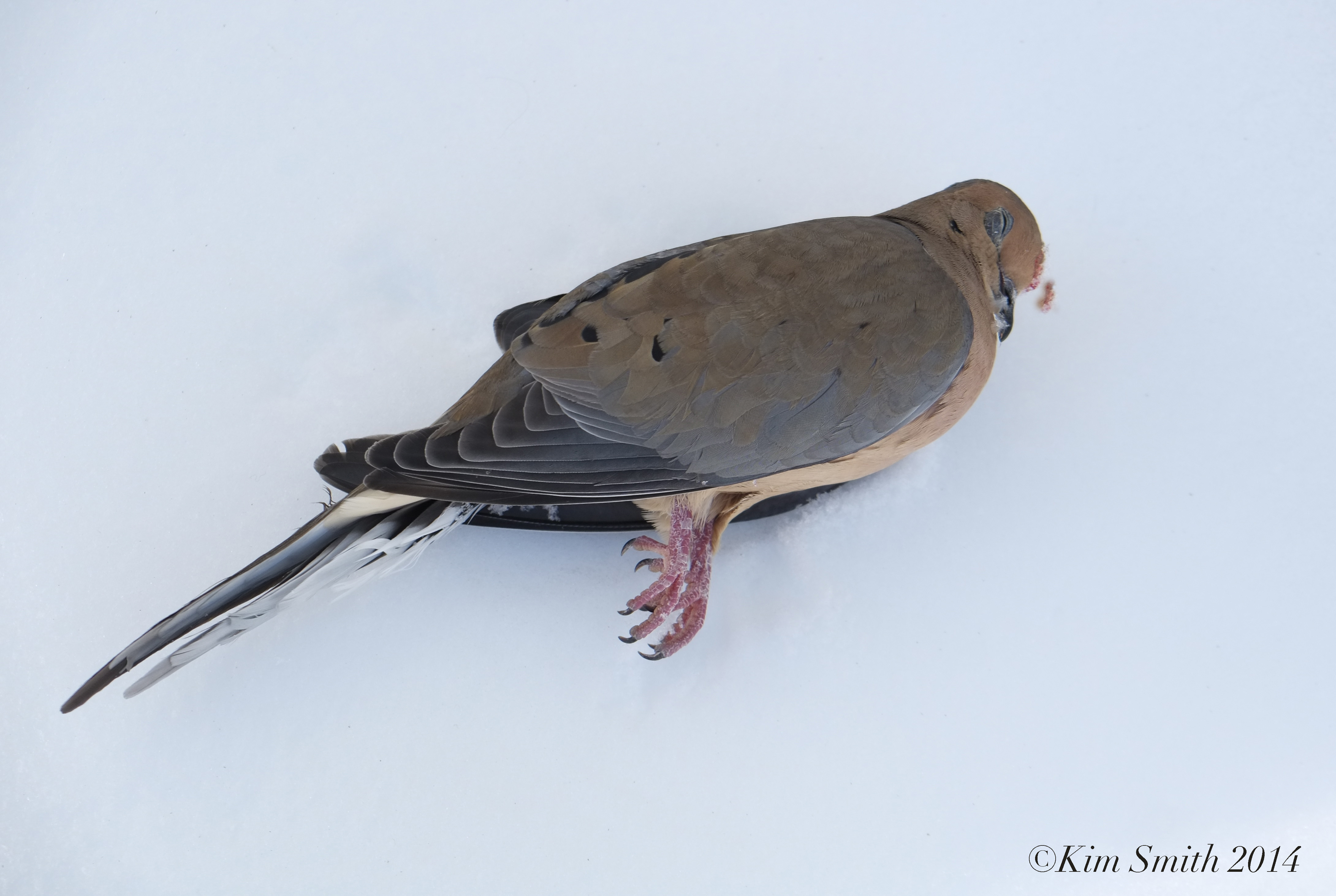 Dead Mourning Dove