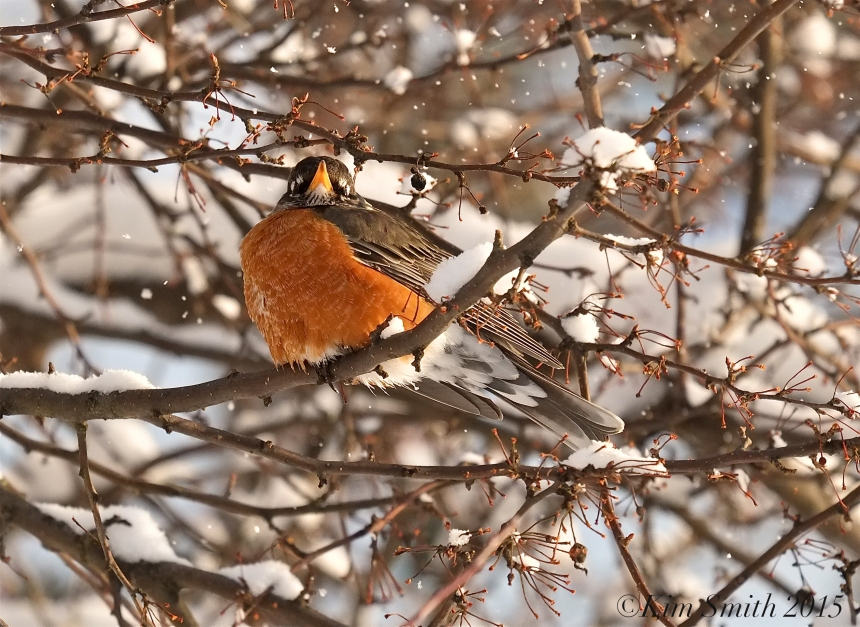 East Gloucester Americna Robin ©Kim Smith 2015