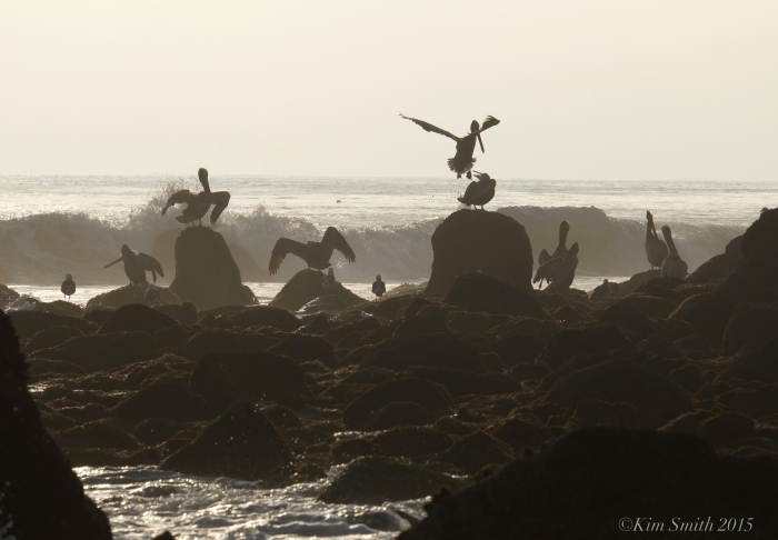 El Matador Beach Brown Pelican habitat ©Kim Smith 2015. JPG
