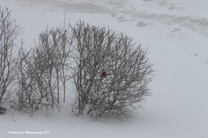 February 15, 2015 cardinal in the lilac bushes