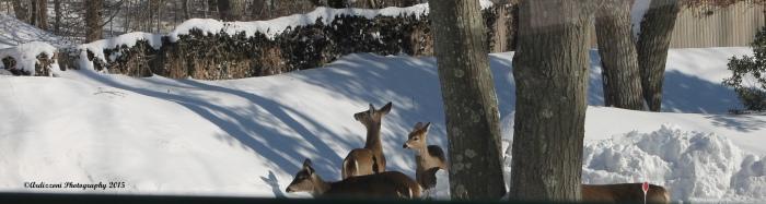 February 16, 2015 deer across the street