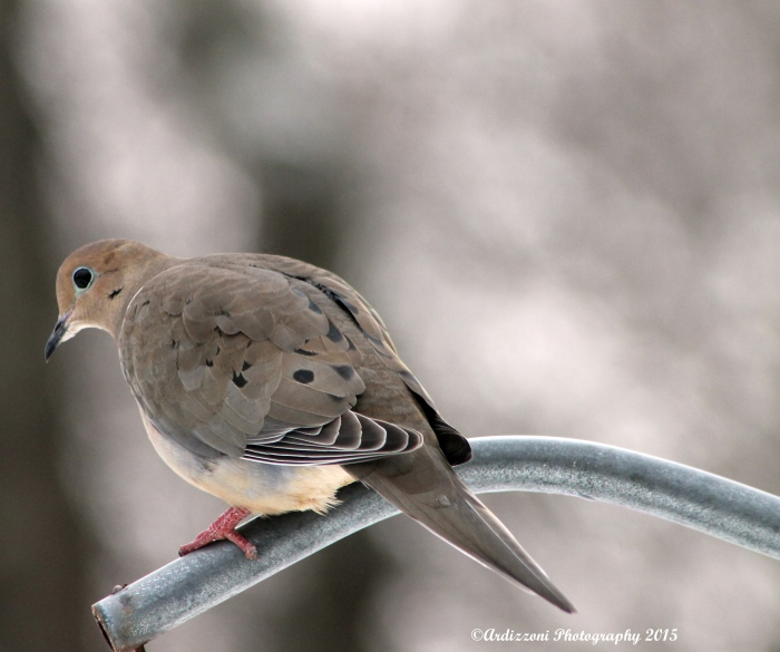February 22, 2015 Morning Mourning Dove