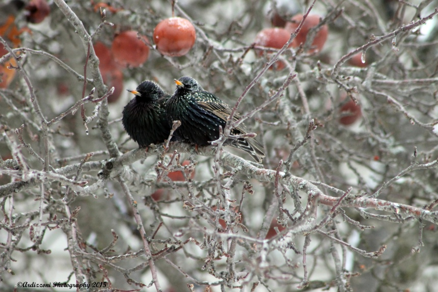 February 5, 2015 Robins in apple Tree on Lexington Avenue