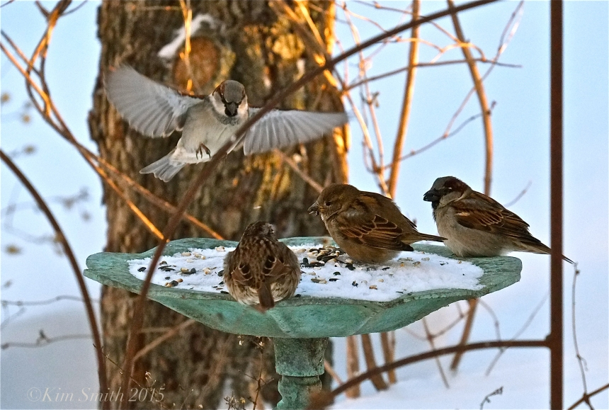 House Sparrow ©kim Smith 2015