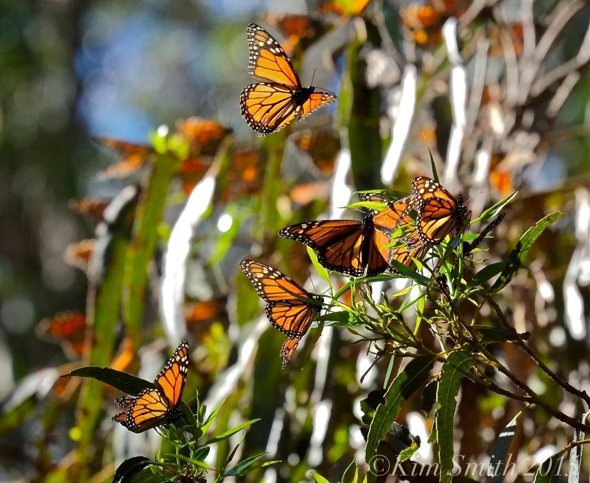 Monarch Butterflies Goleta Santa Barbara California ©Kim Smith 2015