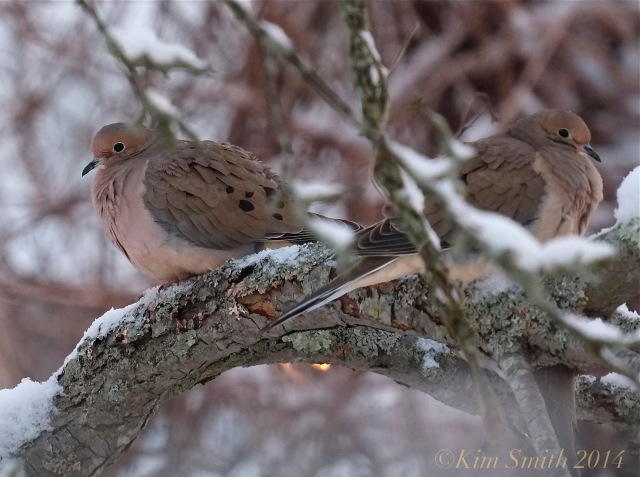 Mourning Dove pair in snow