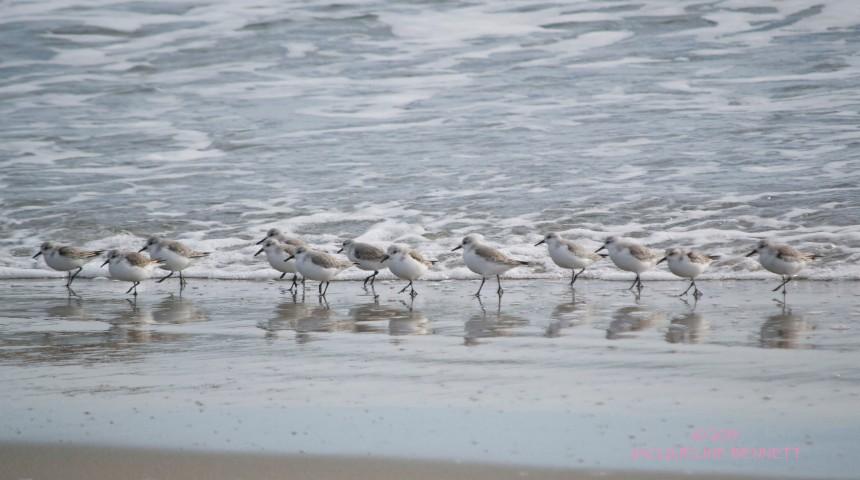 sanderling parade