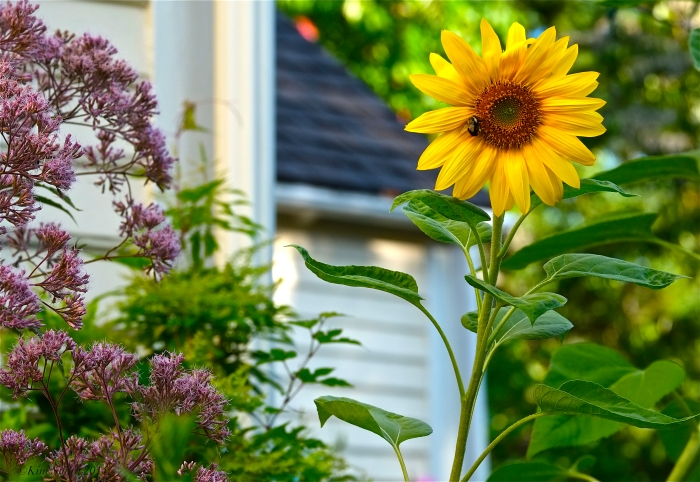 Sunflower and Joe-pye  ©Kim Smith 2014