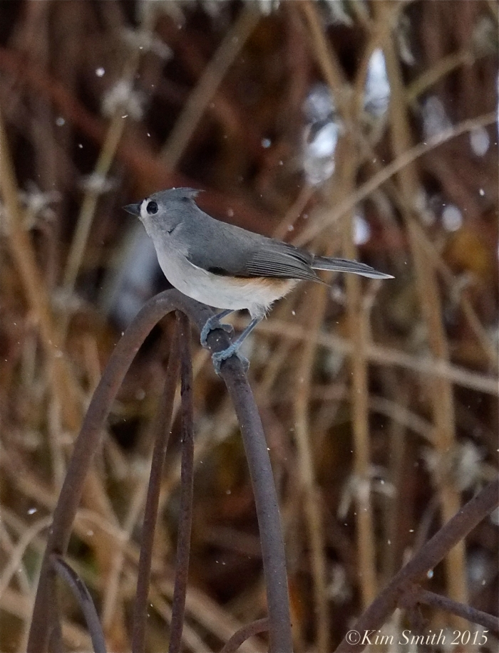 Tufted Titmouse ©Kim Smith 2015