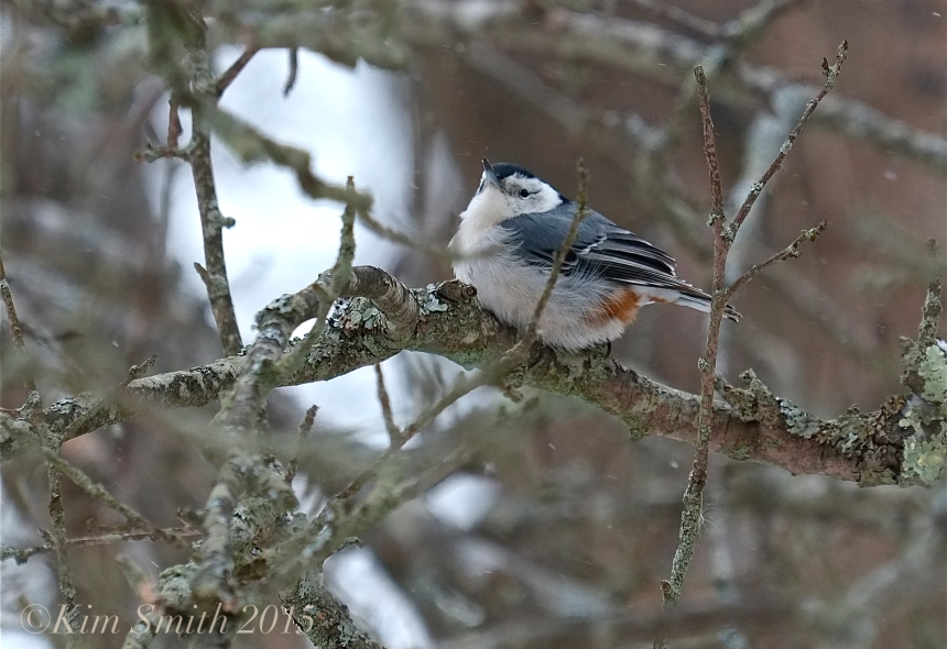 White-breasted Nuthatch ©Kim Smith 2015
