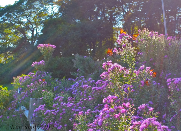 32.Monarch Butterflies New England asters ©Kim Smith 2014