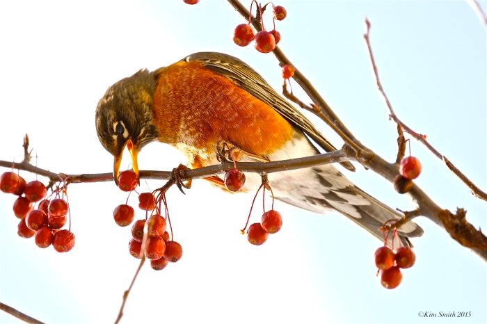 American Robin eating crabaplle Turdus migratorius ©Kim Smith 2015