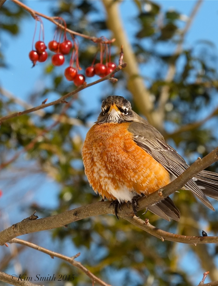 American Robin eating in crabaplle tree Turdus americanus ©Kim Smith 2015