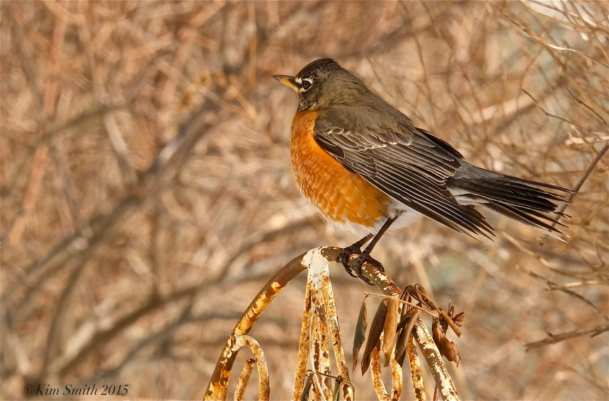 American Robin Turdus americanus ©Kim Smith 2015JPG