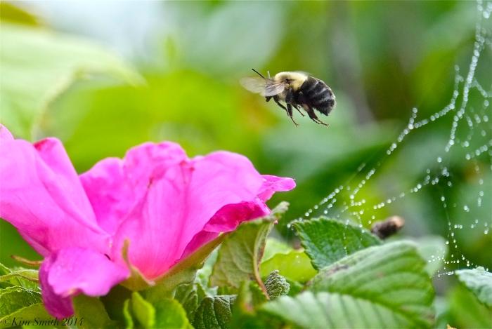 Bee and Rosa rugosa ©Kim Smith 2014