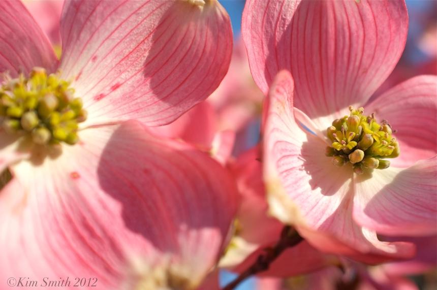 Cornus florida rubra ©Kim Smith 2013