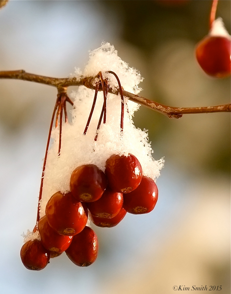 Crabapple in snow ©Kim Smith 2015