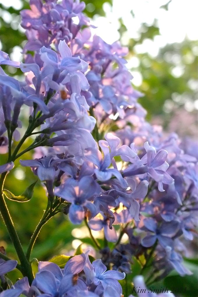 Lilac Presidnet Grevy ©Kim Smith 2011 copy