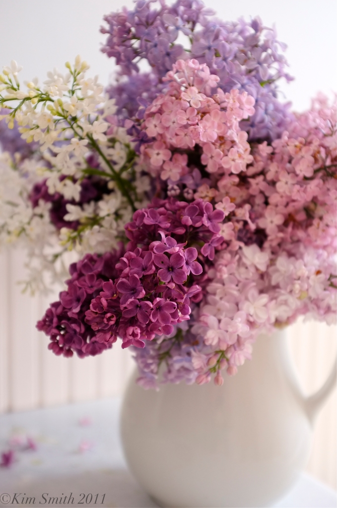 Lilacs bloom in in an array of hues ©Kim Smith