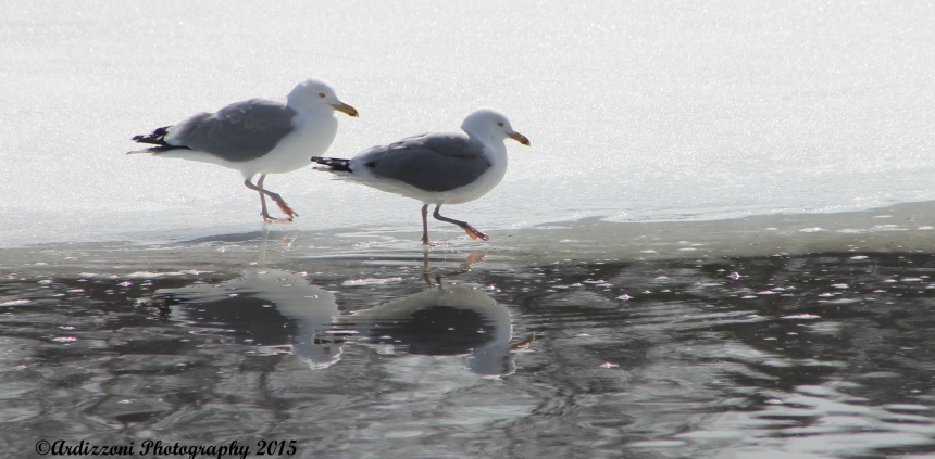 March 24, 2015 seagulls happy to be back on Clarke Pond