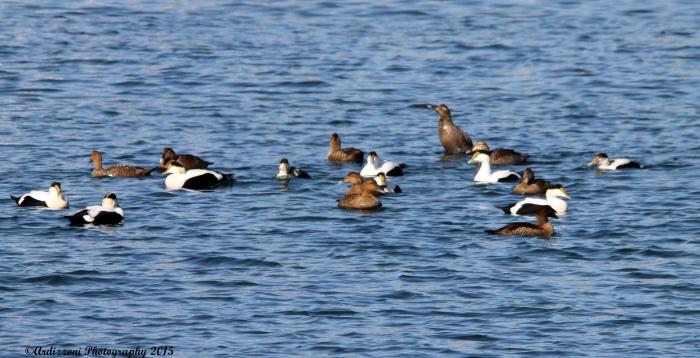 March 9, 2015 ducks having fun in Gloucester Harbor
