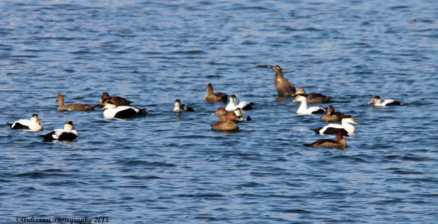 March 9, 2015 ducks having fun in Gloucester Harbor