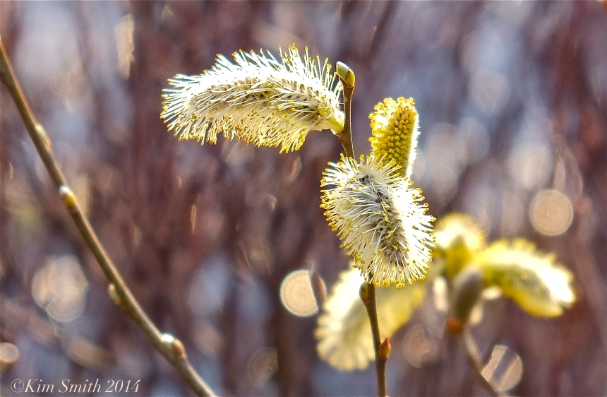 Pussy Willows, Salix discolor ©Kim Smith 2014