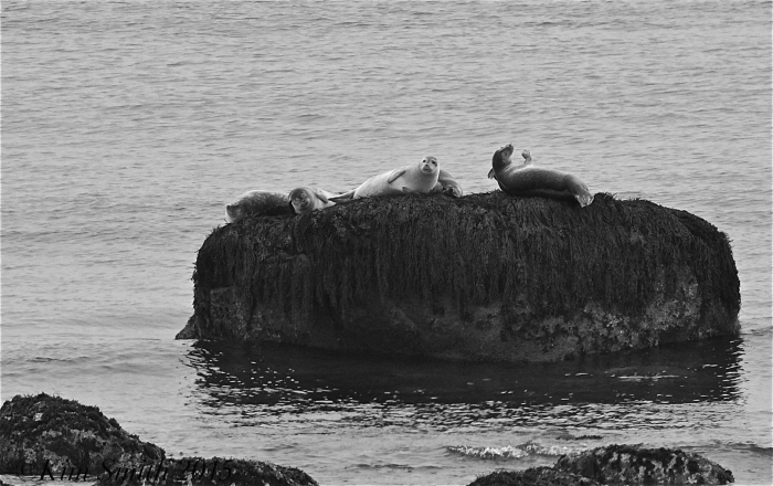 Seals Brace Cove Brace's Rock ©Kim Smith 2015