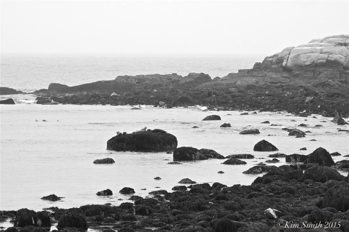 Seals Brace Cove Brace's Rock Eastern point Gloucester ©Kim Smith 2015