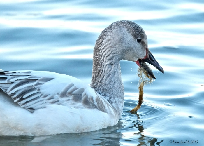 Snow Goose Gloucester Massachusetts Essex County Teeth Tomia ©Kim Smith 2015 copy
