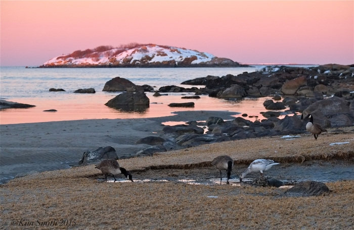 Snow Goose Good Harbor Beach Gloucester Massachusetts ©Kim Smith 2015