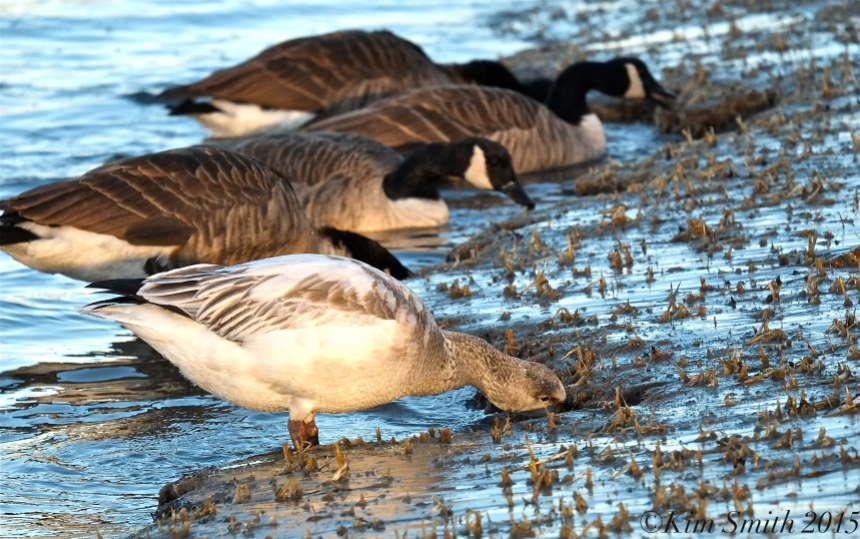Snow Goose Juvenile Canadian Geese Gloucester Massachusetts Essex County  ©Kim Smith 2015